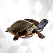 Kaplumbağa (7)